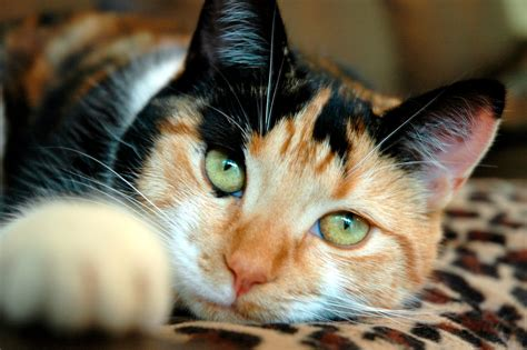 calico cats female why cat always babble