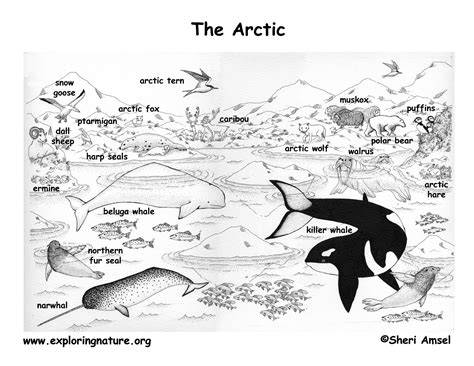 Arctic Tern Tundra Coloring Pages Print Coloring