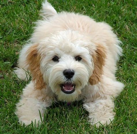 do cockapoo mixes shed 17 best images about yorkie poodle and cocker spanial