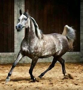 Lovely dappled grey Arabian horse. | Animals - Arabian ...