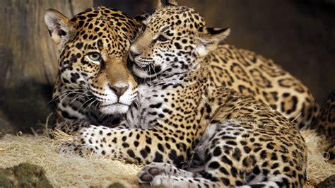 wallpaper  jaguar young jaguar wild cat face