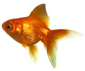 HD wallpapers goldfish outline clipart