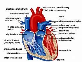 Hd wallpapers heart diagram gcse 7lovedesktop3 hd wallpapers heart diagram gcse ccuart Choice Image