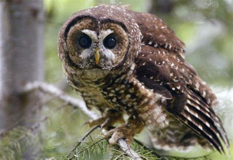 Feds Killing Barred Owls To Try To Save