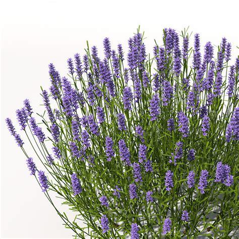 lavender plant height lavender plant flowers 3d model