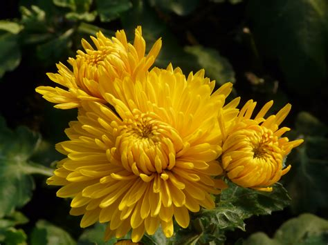 chrysanthemen winterastern staudengaertnerei gaissmayer