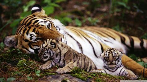 Tiger With Cubs Desktop Wallpaper For Ultra