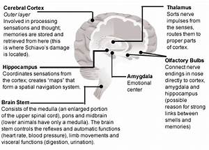 Parts of the brain and their functions   Brain Game ...