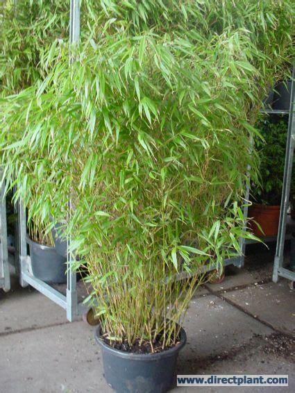 fargesia rufa en pot the 25 best ideas about fargesia rufa on fargesia equisetum and bambou fargesia rufa