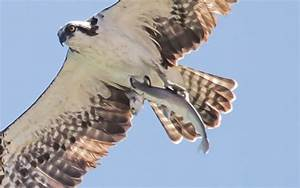 Osprey Carries Shark Carrying Fish – Garden & Gun