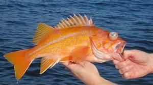 DFW permits anglers to retain canary rockfish – FishRapNews