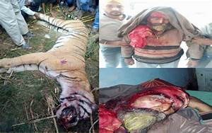 BREAKING: Singh Kills Tiger After It Attacked HimDaily ...