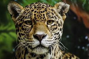 The wild jaguars of Mexico have some good news to share ...  Jaguar