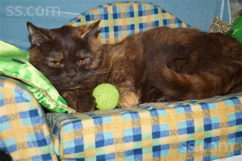 SS.LV Kaķi, kaķēni - Britu īsspalvainais, Cena 200 €. Zila ...