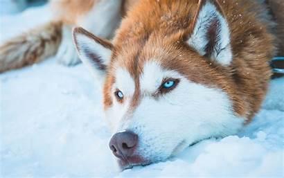 Husky Siberian Snow 4k Wallpapers Dog Backgrounds