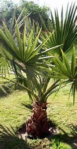 Palme Winterhart Kübel : ber palmen palmen center ~ Michelbontemps.com Haus und Dekorationen