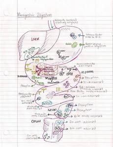 Get Me Into Vet School  U2013 Veterinaryrambles  A Diagram I