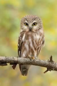 northern whet  owl facts distribution habitat pictures