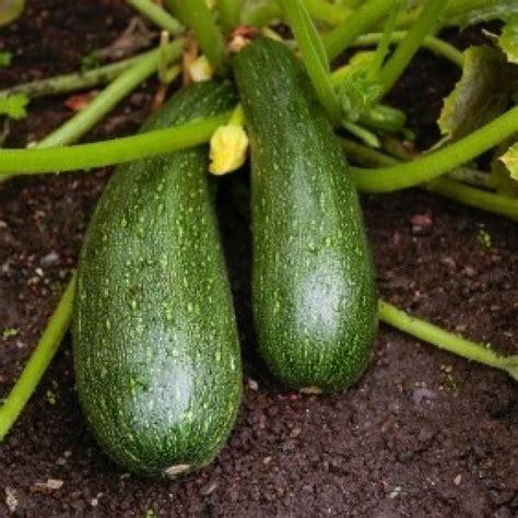 Growing Zucchini Squash   ThriftyFun