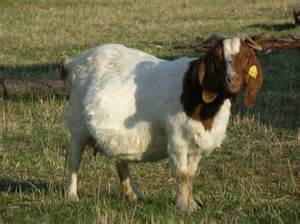 South African Boer Goats