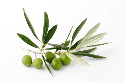 la cuisine d olivier olivier bienfaits pour la santé santé médecine