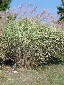 Miscanthus Sinensis Variegatus : botanical creations plant list ~ Eleganceandgraceweddings.com Haus und Dekorationen