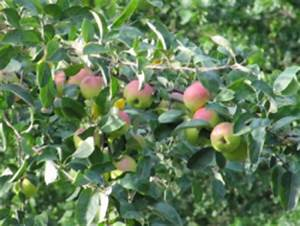 Apfelbaum Schneiden Sommer : im sommer den apfelbaum beschneiden ~ Lizthompson.info Haus und Dekorationen