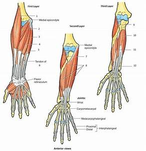 AN1 07: (PIC) Elbow Joint and Forearm - Anatomy with ...