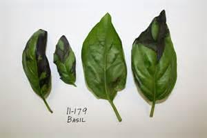 Black Spots On Basil Plant Leaves
