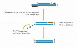 Dna Polymerase I Large  Klenow  Fragment