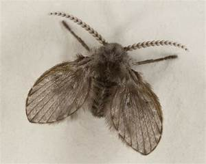 Drain fly wikipedia for Tiny moths in bathroom