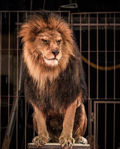lion circus cage circo sitting leeuw leone leao arena pagliaccio gorgeous gioco trucco carte nel treinado executa macaco animal