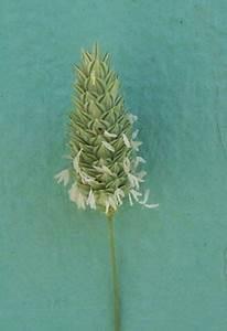 Phalaris brachystachys Link - shortspike canarygrass