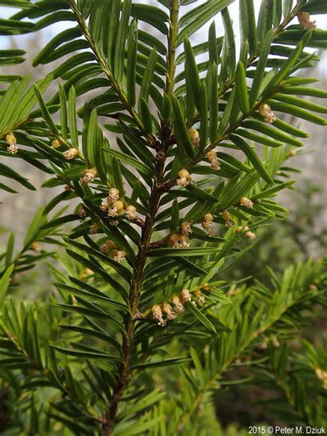 taxus canadensis canada yew minnesota wildflowers