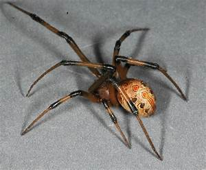 Off-Ramp® | Invasive brown widow spiders are pushing out ...