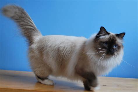 Birman Cat  Purrfect Cat Breeds