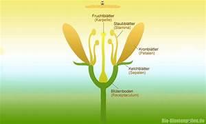 Aufbau Einer Blume : das schema einer bl te bl tenpollen ~ Whattoseeinmadrid.com Haus und Dekorationen
