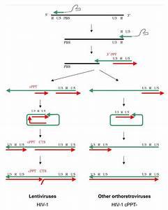 Schematic Representation Of Reverse Transcription In Lentiviruses And