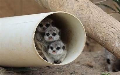 Zoo Meerkats Meerkat National Canberra Three Adorable