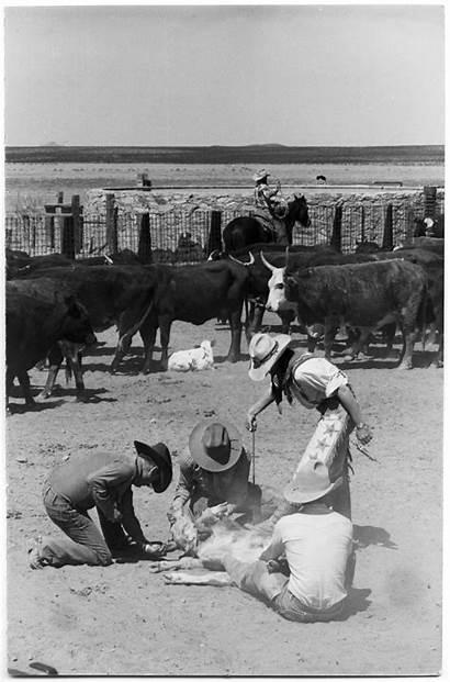 Cattle Branding Texas History
