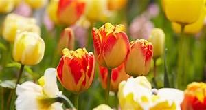 Tulpenzwiebeln Im Frühjahr Pflanzen : tulpen pflegen ~ A.2002-acura-tl-radio.info Haus und Dekorationen