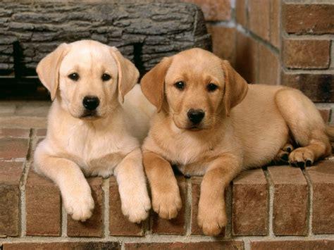 Goldens Retrievers Lab Golden Retriever Puppies