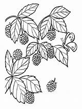 Coloring Pages Raspberries Blackberry Berries Fruits Print Printable Recommended Mycoloring sketch template