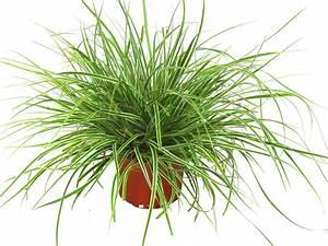 Winterharte Kübelpflanzen Schattig : carex oshimensis everest segge gr ser pflanzen ~ Michelbontemps.com Haus und Dekorationen
