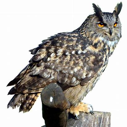 Owl Owls Transparent Hibou Bird Pluspng Categories