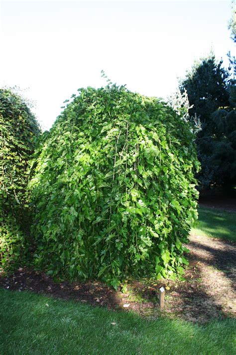 weeping mulberry tree care fruitless weeping mulberry glover nursery