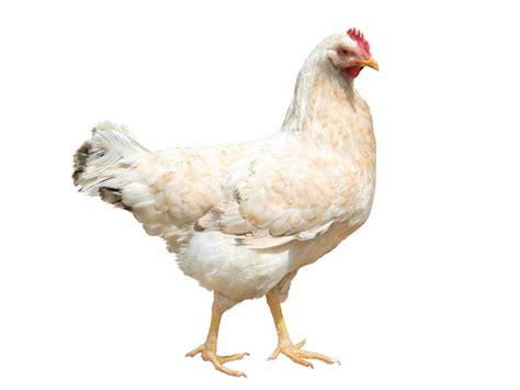 poule cuisine poule coq chapon produits cuisine française