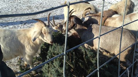 hungry goats help people get rid of old christmas trees