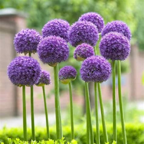 can you plant allium bulbs in how to grow giant alliums plant instructions