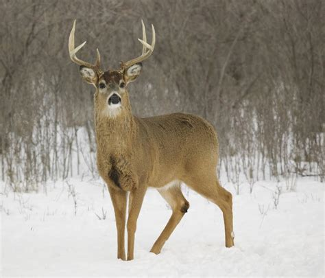 Whitetail Deer Shedding Velvet by 6 Reasons Bucks Shed Their Antlers